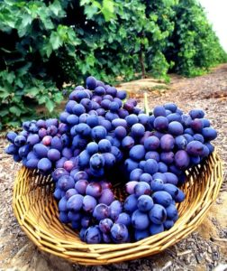 szőlőmag őrleményből kivonat az egészség védelméért